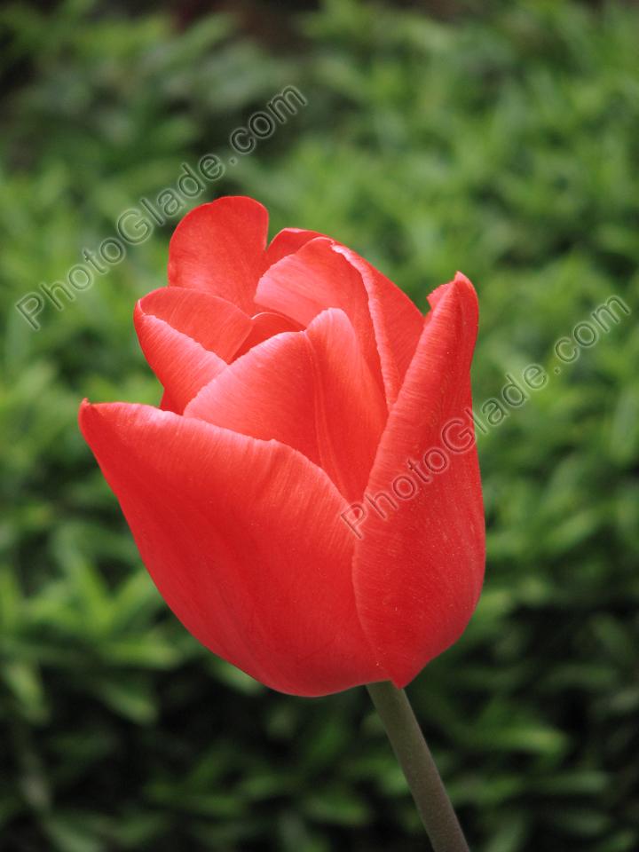 Фото красный тюльпан крупным планом