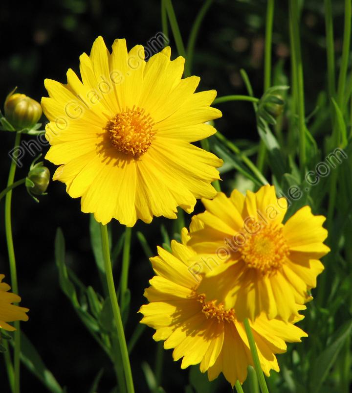 Фото желтые цветы кореопсисы
