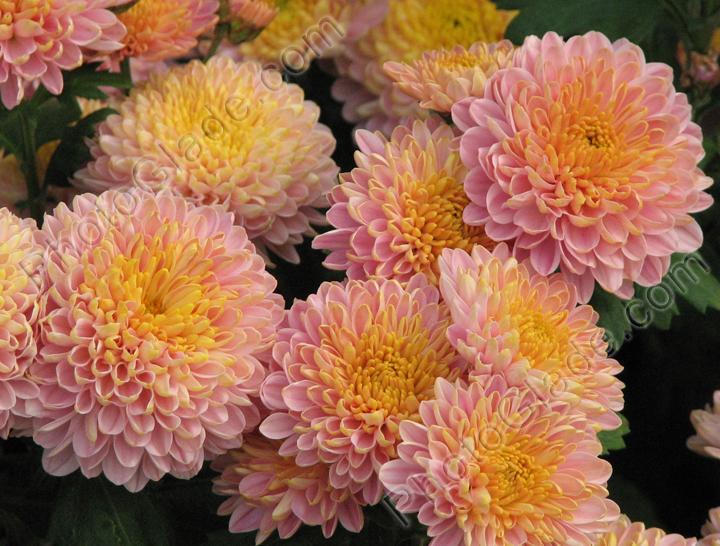 Розово желтые махровые хризантемы