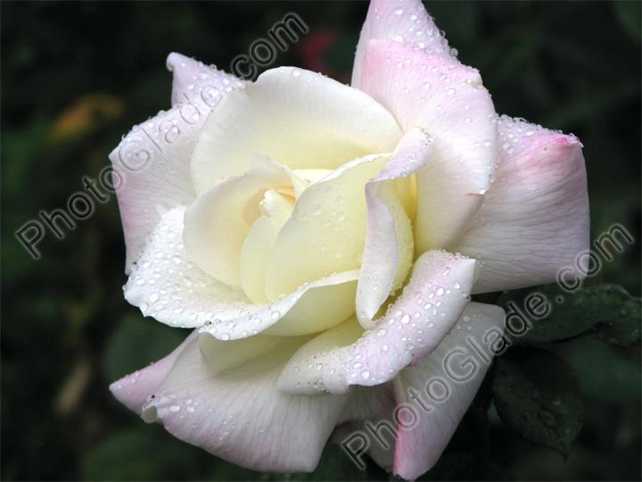 Фото белая роза с капельками росы