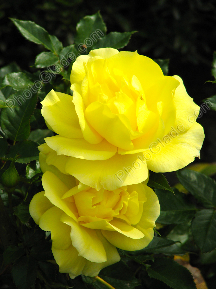 Тюльпаны и розы фото