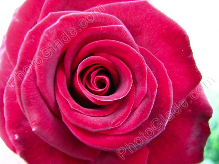 Фото раскрытая бургундская роза