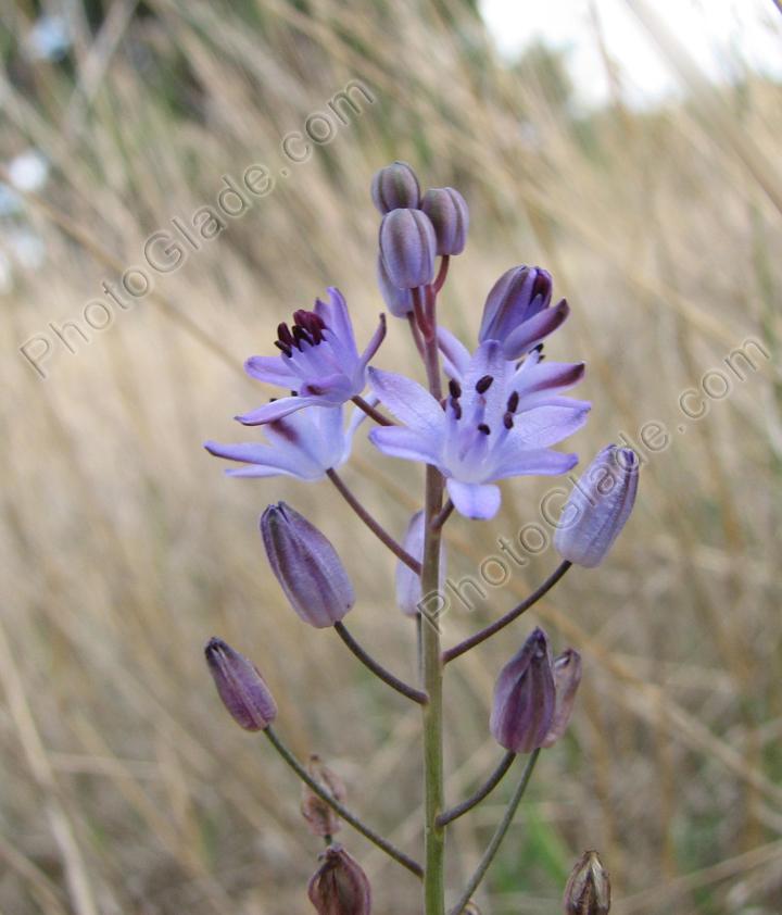 Фото синий лесной цветок с бутонами