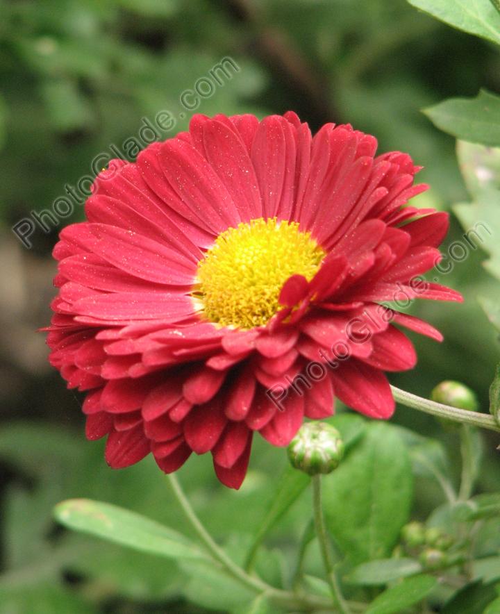 картинки цветов хризантемы:
