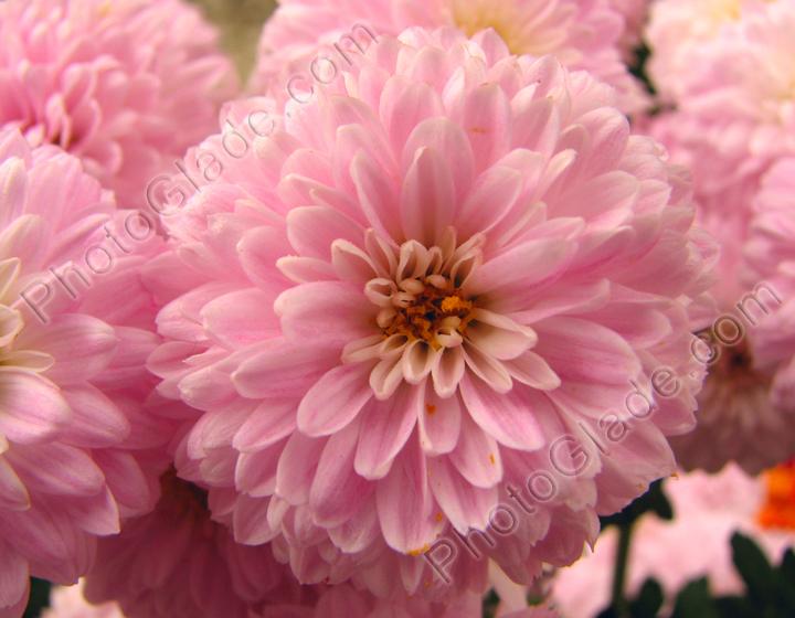 Фото розовые хризантемы крупным