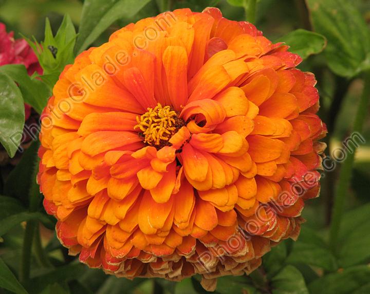 Садовые цветы на букву к и 39
