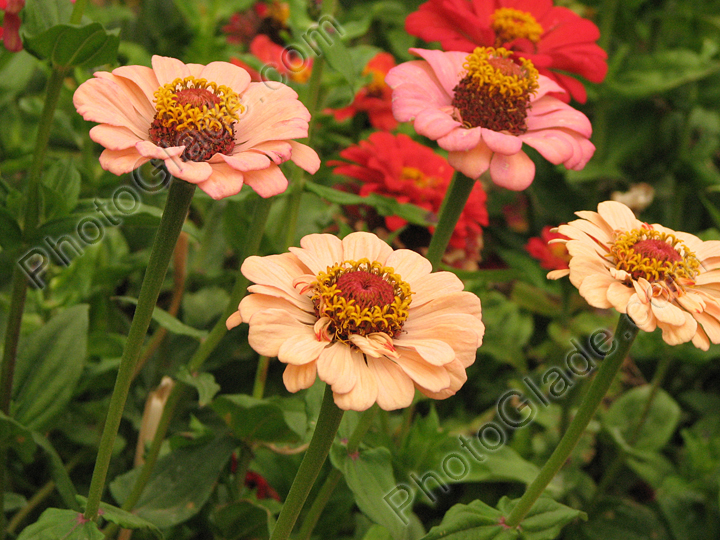 Фото цветы кремовых майоров на клумбе