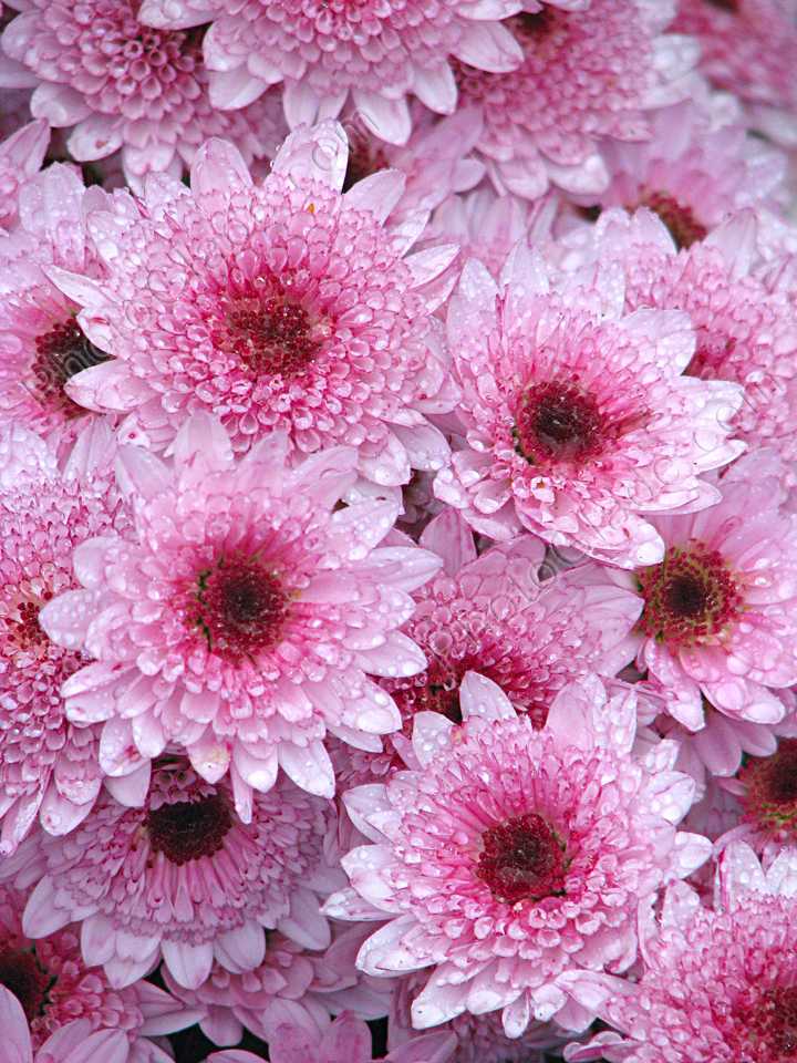 Розовые цветы ковровой хризантемы