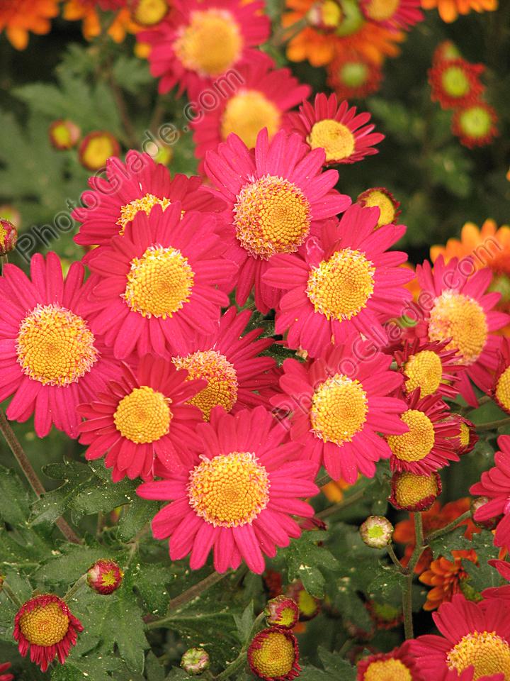 Самые красивые хризантемы