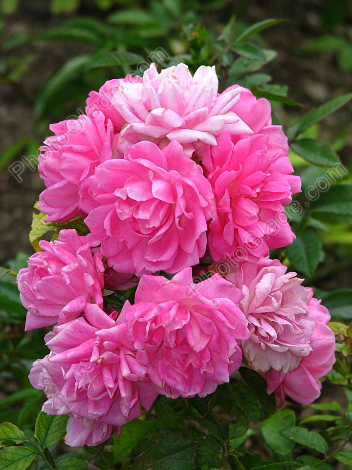 Фото каскад розовых роз