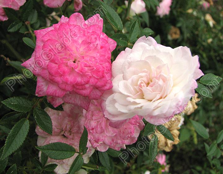 Комнатная роза Миниатюрные розы Уход  Начинающему