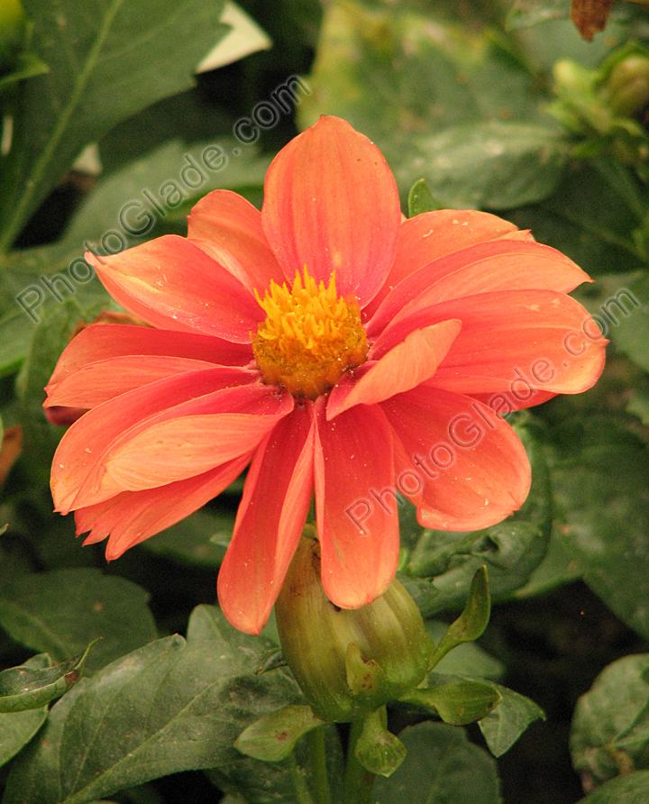 Бледно оранжевый немахровый георгин