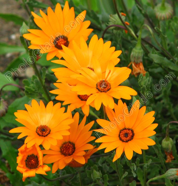 Садовые цветы: розы, тюльпаны