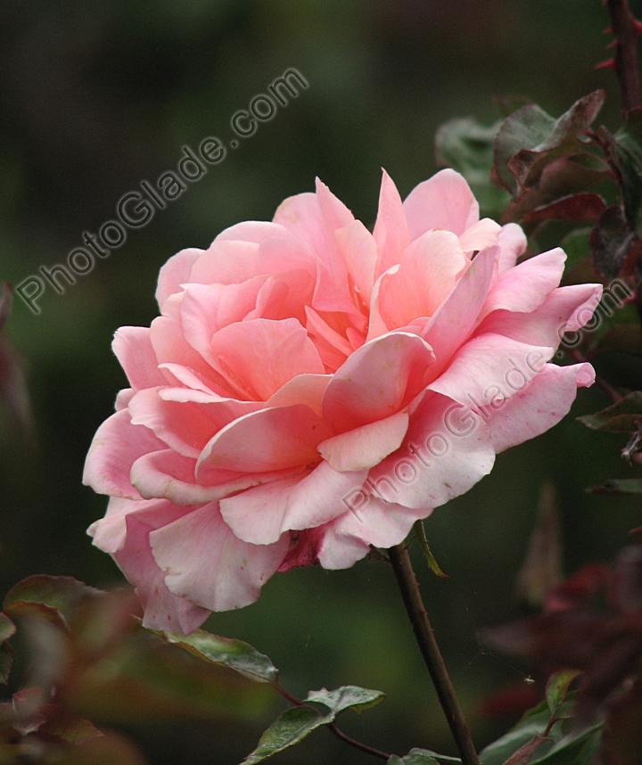 Фото нежно розовая роза благовест