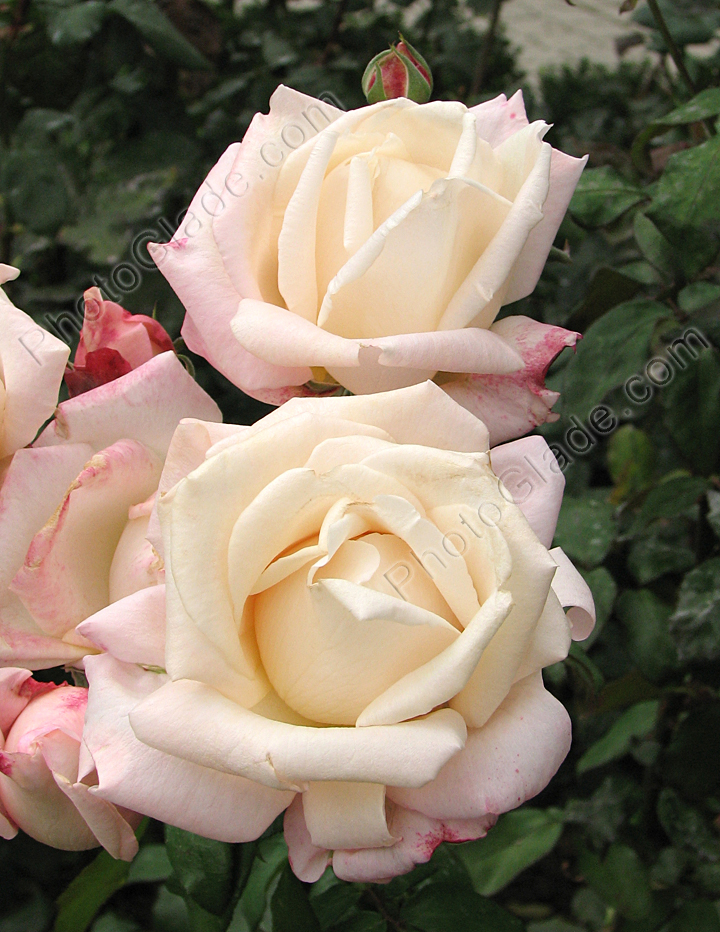 Фото белые розы anna