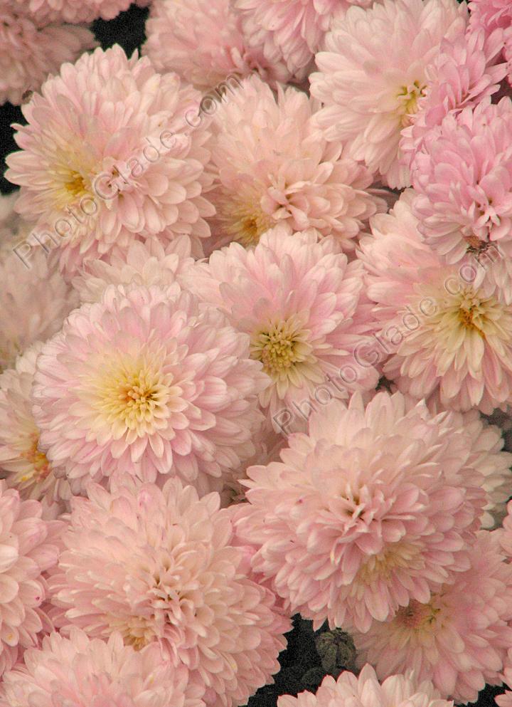 Махровые цветы хризантемы славяночка