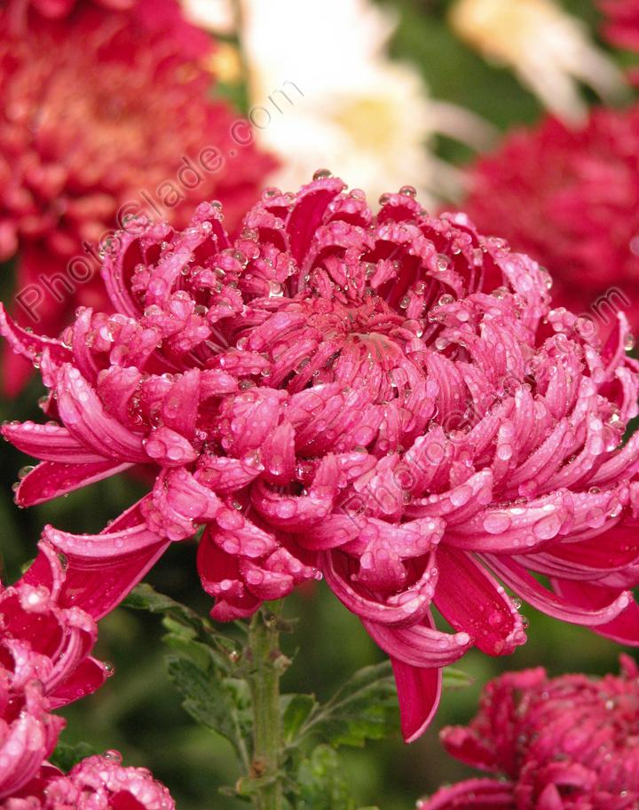 Фото винно красная хризантема demurral