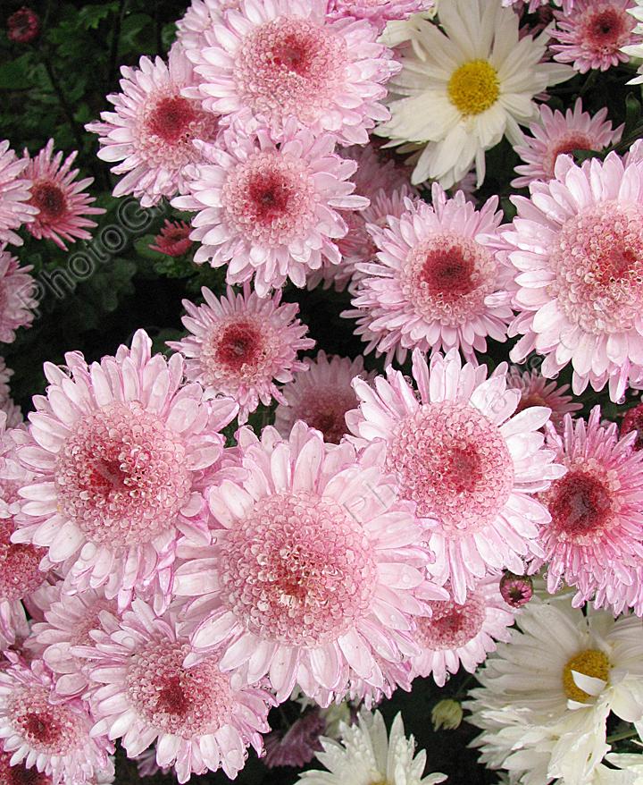 Хризантемы розовые альфа и белые