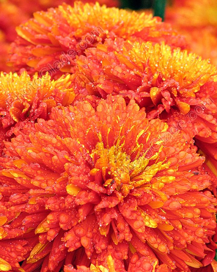 Red chrysanthemum flower