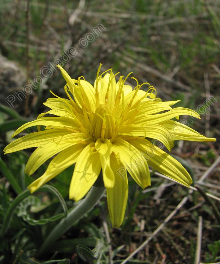 Жёлтый цветок похожий на одуванчик