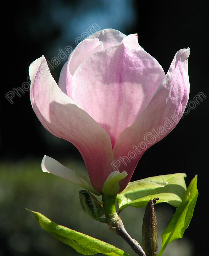 Цветок розовой магнолии из никитского
