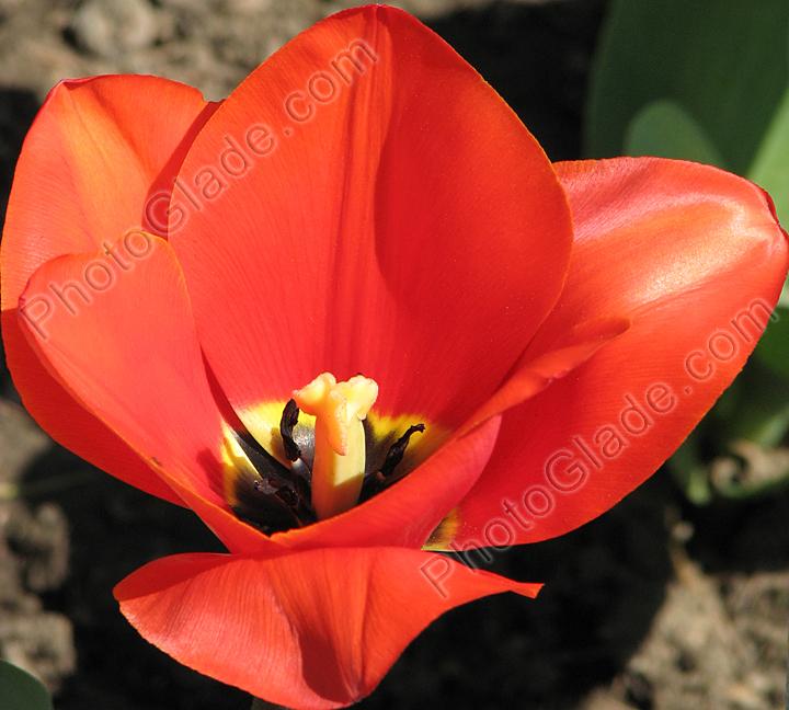 Фото редкий тюльпан prince of austria
