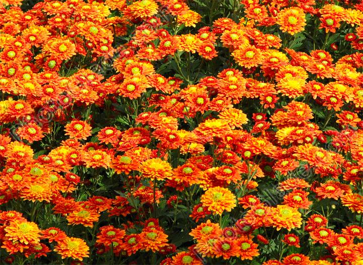 Бескрайнее поле осенних хризантем