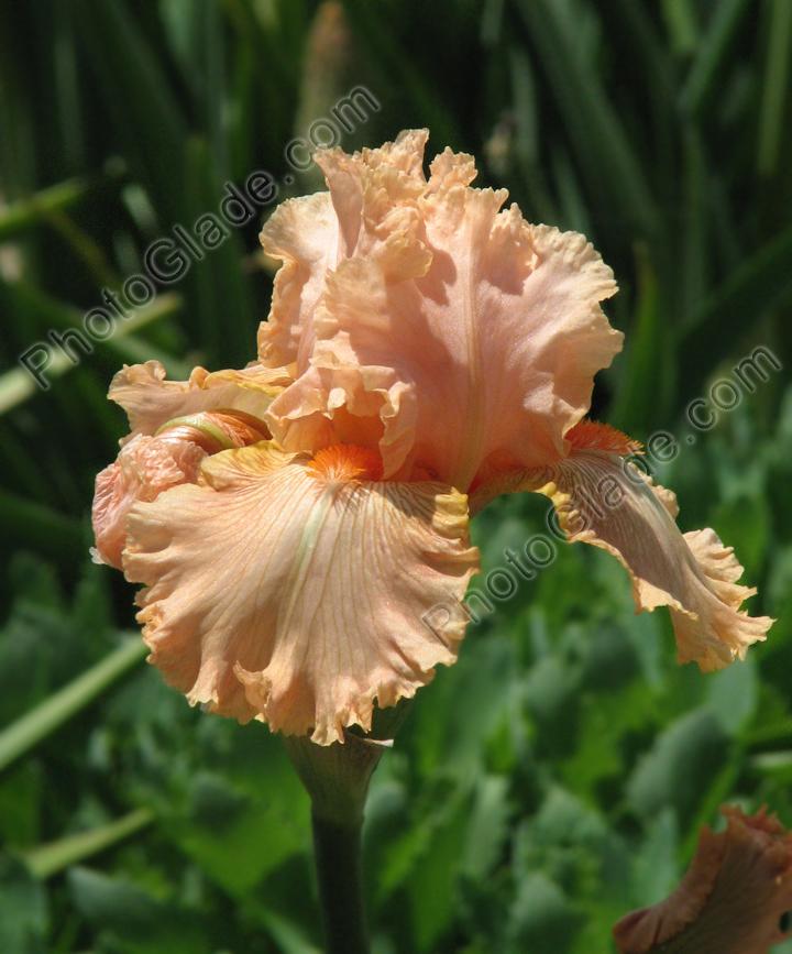 Фото нежно абрикосовый цветок ириса