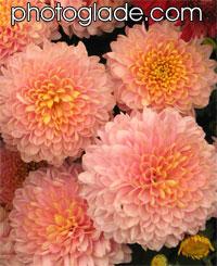 Фото 19 20 21 хризантемы селекции нбс ннц